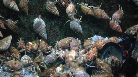 hermit crab : A large number of Small hermit crabs on the sandy bottom (Diogenes pugilator). Black Sea. Ukraine Stock Footage