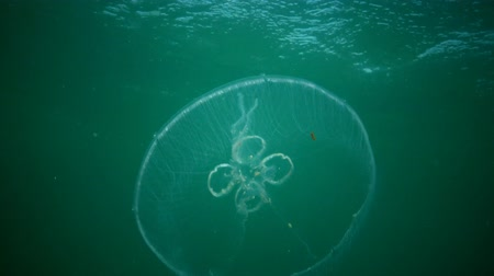 fincan tabağı : A jellyfish floating in the water column. Aurelia aurita (also called the common jellyfish, moon jellyfish, moon jelly, or saucer jelly) is a cultivated species of the genus Aurelia