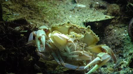 waters : Male and female Swimming crab (Macropipus holsatus) before breeding, close-up. Black Sea. Ukraine.