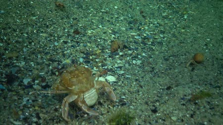 zooloji : Fauna of the Black Sea. Ukraine. Swimming crab (Macropipus holsatus), female Stok Video