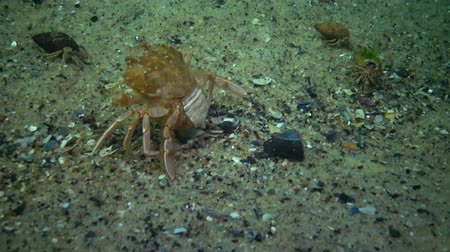 ökológiai : Fauna of the Black Sea. Ukraine. Swimming crab (Macropipus holsatus), female Stock mozgókép