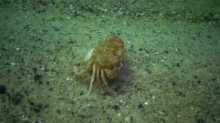 vahşi : Fauna of the Black Sea. Ukraine. Swimming crab (Macropipus holsatus), female Stok Video