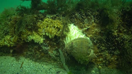 uw : Cocoons of the predatory mollusk Rapana venosa, the invader in the Black Sea. Fauna of the Black Sea Stock Footage