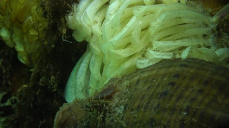 invasions : Cocoons of the predatory mollusk Rapana venosa, the invader in the Black Sea. Fauna of the Black Sea Stock Footage