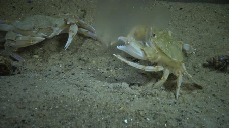 biyolojik : Crabs of the Redfish (Macropipus holsatus) eat jellyfish Aurelia aurita
