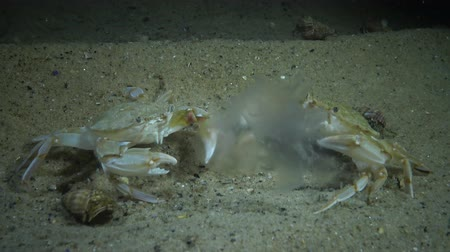 waters : Crabs of the Redfish (Macropipus holsatus) eat jellyfish Aurelia aurita