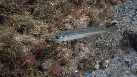 yakalamak : Atherina pontica, Black Sea big-scale sand smelt, Ukraine Stok Video
