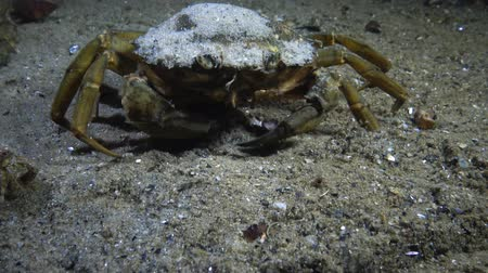 homar : Big Green crab (Carcinus maenas) runs fast over the sand