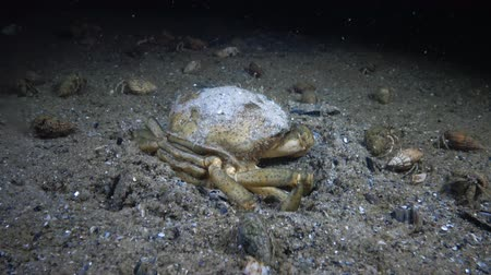 zooloji : Big Green crab (Carcinus maenas) runs fast over the sand