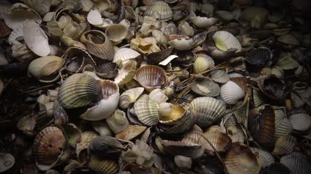 midye : Shellfish shells Cerastoderma and Anadara on the shore, night shooting Stok Video