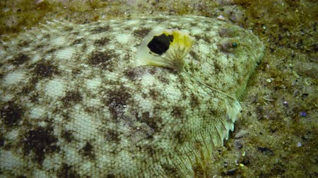 demersal : Fish of the Black Sea. Flat fish Sand sole Pegusa lascaris , similar to sand, slowly floats and lies at the bottom, raising the fin
