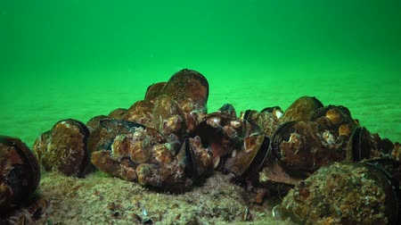 waters : Mediterranean mussel (Mytilus galloprovincialis) and crustacea Balanus sp. Mass settlement. Black Sea. Ukraine.