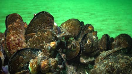 shellfish : Mediterranean mussel (Mytilus galloprovincialis) and crustacea Balanus sp. Mass settlement. Black Sea. Ukraine.