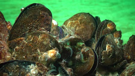 侵略 : Mediterranean mussel (Mytilus galloprovincialis) and crustacea Balanus sp. Mass settlement. Black Sea. Ukraine.