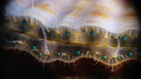 shellfish : Blue eyes and tentacles near the Black Sea mollusk Scallop (Flexopecten ponticus).