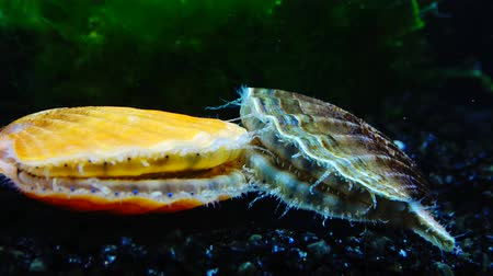 scallop : The shell claps the shell. Blue eyes and tentacles near the Black Sea mollusk Scallop (Flexopecten ponticus).