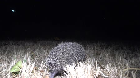 spiny : Hedgehog (Erinaceus europaeus) running on the ground. A prickly animal that feeds on insects, worms