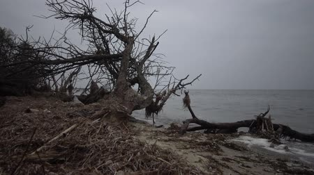 pień : A large dead tree on a sandy beach, an overcast day. Black Sea