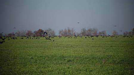 corvus frugilegus : Rooks (Corvus frugilegus) on a green field of winter wheat, Bolgradsky area, Ukraine Stock Footage