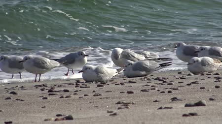 argentatus : Seagulls on the shore of the Black Sea. Gull stand on the beach. Gulls fly and go near the sea Stock Footage