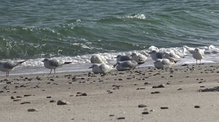 flying sea gull : Seagulls on the shore of the Black Sea. Gull stand on the beach. Gulls fly and go near the sea Stock Footage