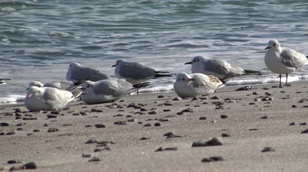 śledź : Seagulls on the shore of the Black Sea. Gull stand on the beach. Gulls fly and go near the sea Wideo
