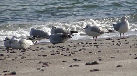 kék háttér : Seagulls on the shore of the Black Sea. Gull stand on the beach. Gulls fly and go near the sea Stock mozgókép