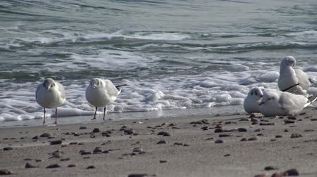ridibundus : Seagulls on the shore of the Black Sea. Gull stand on the beach. Gulls fly and go near the sea Stock Footage
