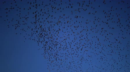 szpak : Flock of birds swarming against a blue sky with clouds. Large group of small birds flying together.