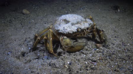 zooloji : Female Big Green crab (Carcinus maenas) runs fast over the sand