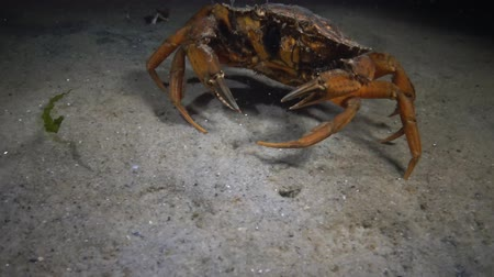 zoolojik : Female Big Green crab (Carcinus maenas) runs fast over the sand