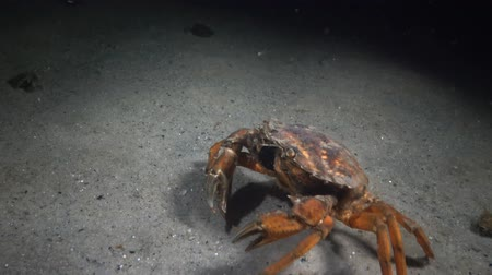 homar : Female Big Green crab (Carcinus maenas) runs fast over the sand