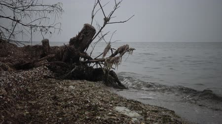 çürümüş : A large dead tree on a sandy beach, an overcast day. Black Sea
