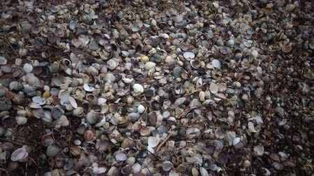 zoolojik : Empty shells of mollusks on the Black Sea coast