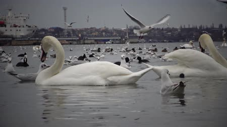 aves : Wild Birds, people, industry. The ecological problem is white swans, ducks and seagulls in the seaport waters. Suhoy Liman, Ukraine