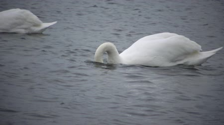 утки : Mute swan (Cygnus olor). Graceful white mute swans swimming and feeding in the river.Water bird species Стоковые видеозаписи