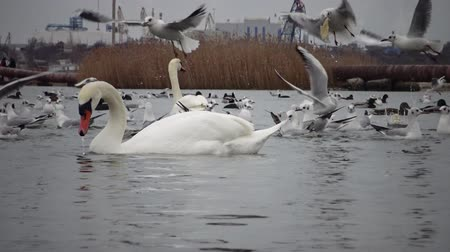 comida : Wild Birds, people, industry. The ecological problem is white swans Cygnus olor, ducks and seagulls in the seaport waters. Suhoy Liman, Ukraine