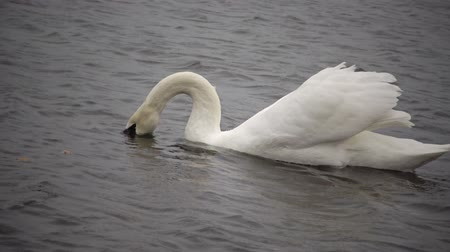 海港 : Mute swan (Cygnus olor). Graceful white mute swans swimming and feeding in the river.Water bird species 動画素材