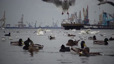 swans swimming : Wild Birds, people, industry. The ecological problem is white swans Cygnus olor, ducks and seagulls in the seaport waters. Suhoy Liman, Ukraine