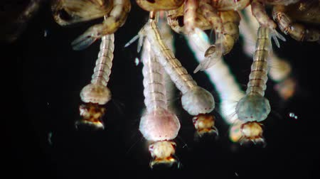 zoologia : Mosquito, Larvae and Pupae in polluted water. Culex pipiens (the common house mosquito or northern house mosquito) is a species of blood-feeding mosquito of the family Culicidae