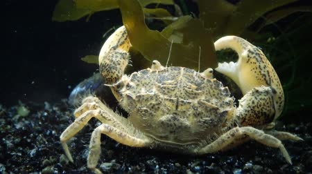 zoolojik : Invasive species, invader Rhithropanopeus harrisii (common names include the Zuiderzee crab, dwarf crab, estuarine mud crab, Harris mud crab), Black Sea, Ukraine, Odessa Bay