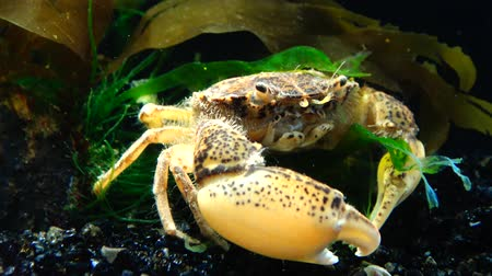 meditativo : Invasive species, invader Rhithropanopeus harrisii (common names include the Zuiderzee crab, dwarf crab, estuarine mud crab, Harris mud crab), Black Sea, Ukraine, Odessa Bay