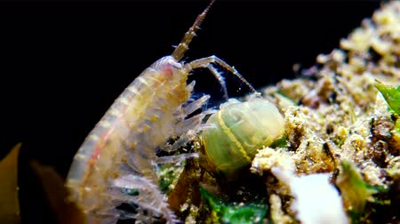 homar : A small crustacean of the genus Gammarus, caught by a small Actinia-an invader in the Black Sea Diadumene lineta