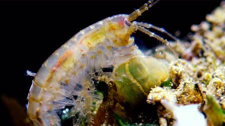 ıstakoz : A small crustacean of the genus Gammarus, caught by a small Actinia-an invader in the Black Sea Diadumene lineta
