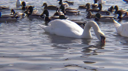 авес : Mute swan (Cygnus olor). Graceful white mute swans swimming and feeding in the river.Water bird species Стоковые видеозаписи