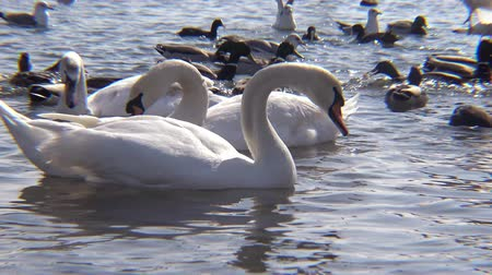 aves : Mute swan (Cygnus olor). Graceful white mute swans swimming and feeding in the river.Water bird species Stock Footage