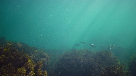 zoolojik : Black Sea fish mullet swims over thickets of algae Cystosira