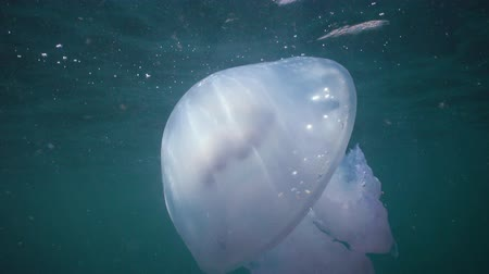 rhizostoma : Barrel jellyfish (Rhizostoma pulmo) swims in the water column, medium shot. Black Sea. Ukraine. Stock Footage