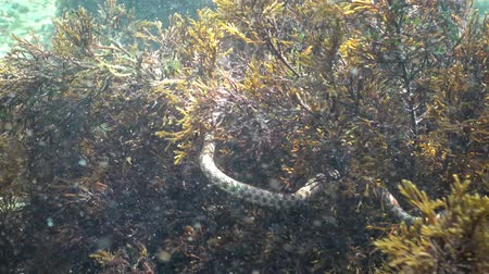 nonvenomous : Under the water in the Black Sea, Bulgaria. The dice snake (Natrix tessellata) is a European nonvenomous snake of the to the family Colubridae, subfamily Natricinae. Stock Footage