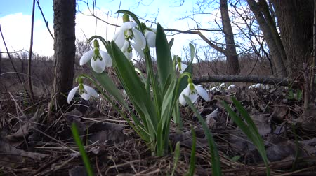 angiospermas : Amaryllidaceae, Amaryllidoideae, Galanthus elwesii (Elwess snowdrop, greater snowdrop) in the wild on the slopes of the Tiligul estuary, Red Book of Ukraine Stock Footage